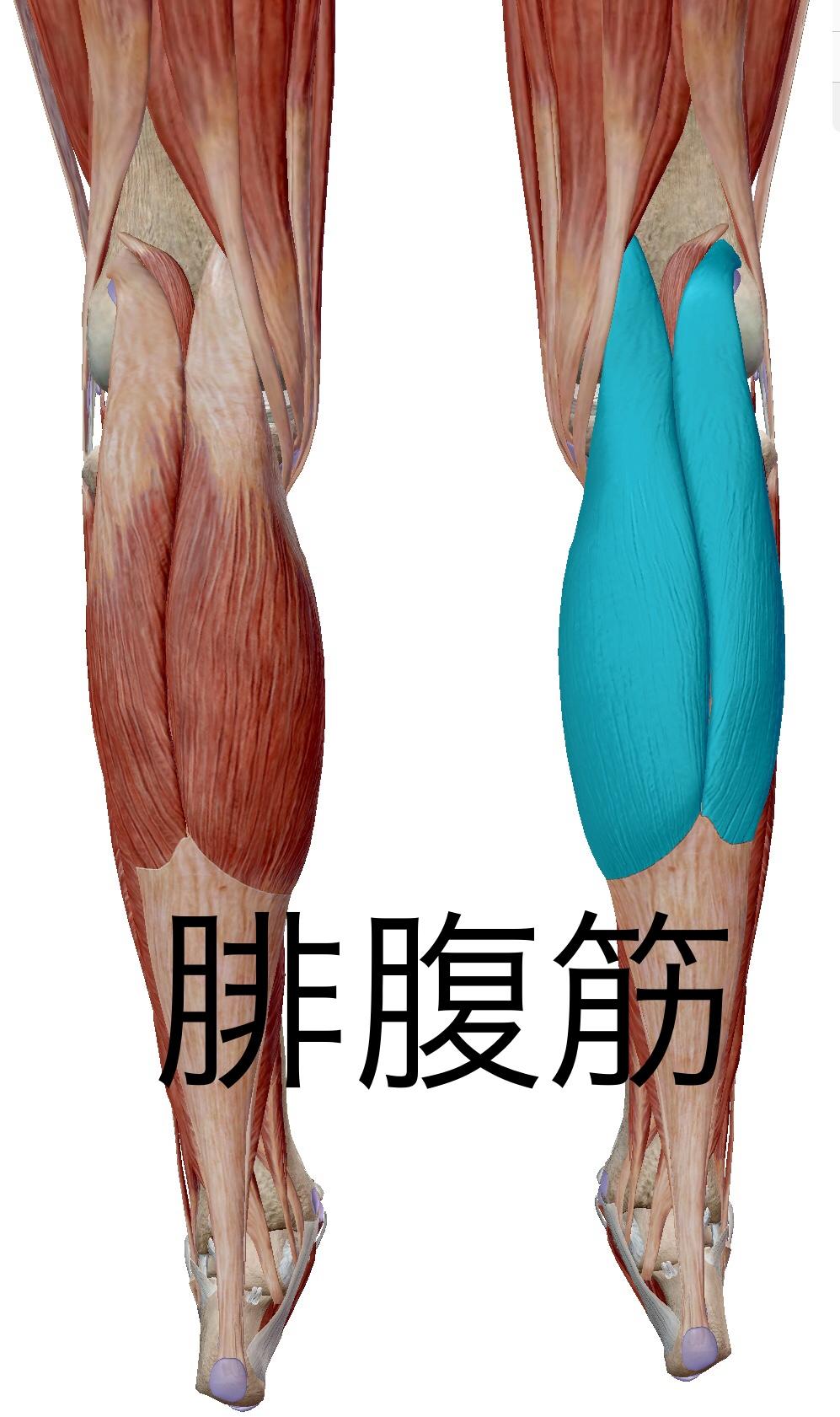 「腓腹筋」の画像検索結果